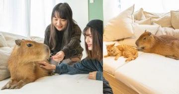 日本有眾多不同的寵物cafe,不過小編今次為大家介紹的更加特別,是水豚和貓咪共聚一室的cafe!