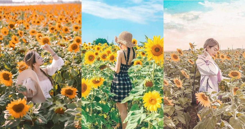 代表夏季的花要盛開了!台南向日葵花海,齊來與陽光共舞