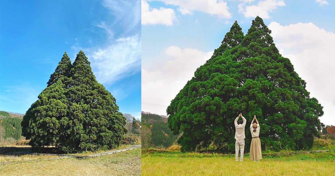 這棵樹的外型很像龍貓,胖胖而有尖尖的耳朵,很可愛啊!